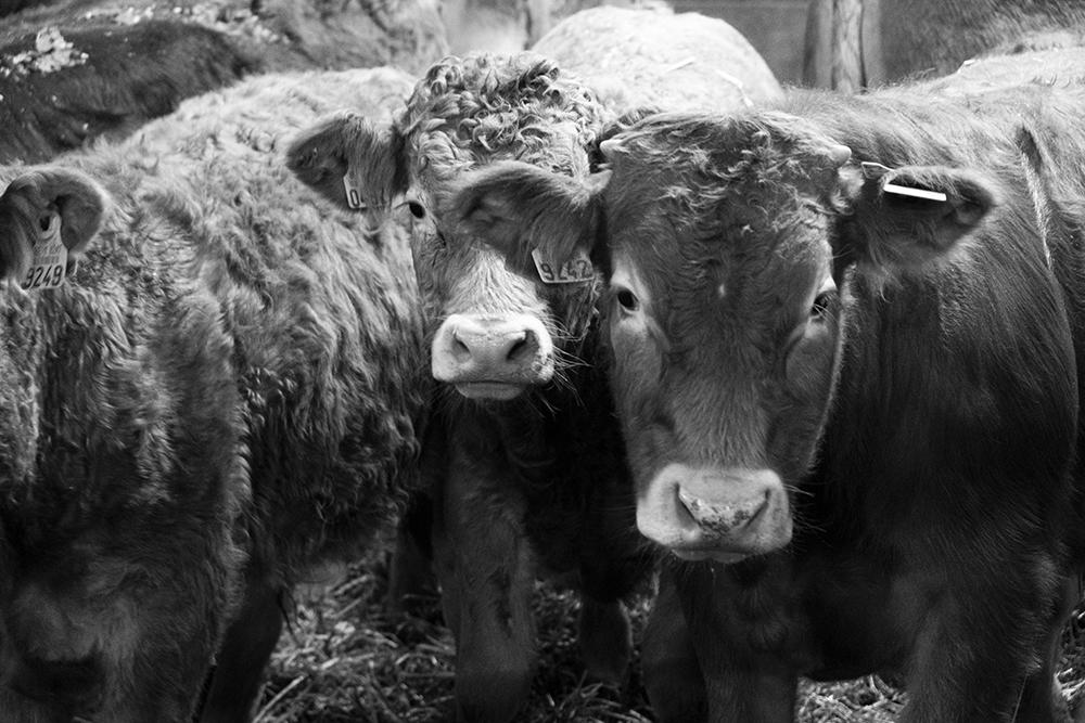 Viande bovine en circuits courts, temps de travail et rentabilité